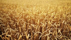 Yellow ripe ears of barley plants swaying by wind in wheat field. Harvest, nature, agriculture, harvesting concept. Yellow ripe ears of barley plants swaying by stock footage