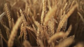 Yellow ripe ears of barley plants swaying by wind in wheat field. Harvest, nature, agriculture, harvesting concept. Yellow ripe ears of barley plants swaying by stock video footage
