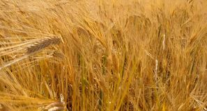 Yellow ripe ears of barley plants swaying by wind in wheat field. Harvest, nature, agriculture, harvesting concept. stock footage