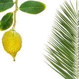 Yellow ripe etrog. Citron fruit and palm leaves for sukkah. Symbols for Jewish religious holiday - Sukkot or Succot Feast of Tabernacles Stock Photo