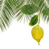 Etrog. Citron Citron fruit and palm leaves. Yellow ripe etrog. Symbol for Sukkot or Succot Jewish religious holiday - Feast of Tabernacles. Citron fruit and palm Royalty Free Stock Images