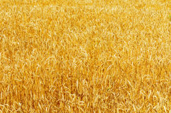 Yellow ripe harvest field Royalty Free Stock Image