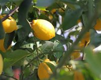 Yellow ripe lemons hanging from a tree Stock Images