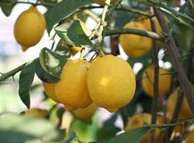 Yellow ripe lemons from Sicily hanging from a tree Royalty Free Stock Photography
