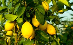 Yellow ripe lemons in the tree with leaves Stock Photo