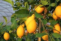 Yellow ripe lemons in the tree Royalty Free Stock Image