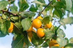 Yellow ripe mirabelle plum Royalty Free Stock Photos