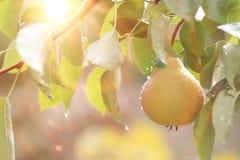 Yellow ripe pear Stock Photography