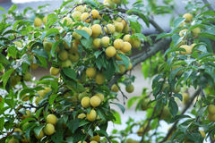 Yellow ripe plums Royalty Free Stock Photo
