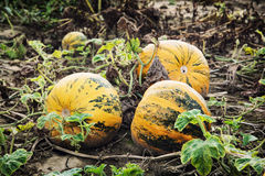 Yellow ripe pumpkins in the field Stock Photos