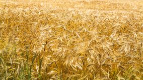 Yellow ripe rye on field in Brittany. Country landscape - yellow ripe rye on field in Cotes-d'Armor department of Brittany, France in sunny summer day Royalty Free Stock Photos