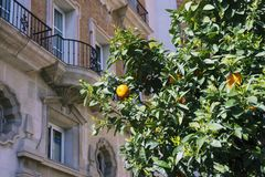 Yellow ripe tangerines on a tree against the background of a beautiful historic building. Warm sunny day. royalty free stock image
