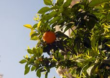 Yellow ripe tangerines on a tree against the blue sky royalty free stock photography