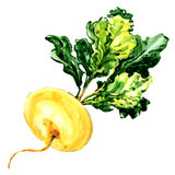 Yellow ripe turnip isolated on white. Yellow ripe isolated, watercolor painting on white background Stock Photo