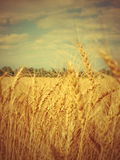 Yellow ripe wheat ears on field. Stock Image