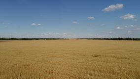 Yellow ripe wheat field at end of July in Russia stock video footage