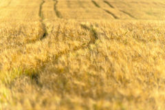 Yellow and ripe wheat field. Golden yellow and ripe wheat field Royalty Free Stock Photography