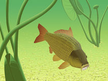 Yellow River Carp Royalty Free Stock Images