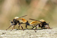 Yellow robber fly Royalty Free Stock Photos
