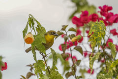 A yellow Robin on a tree Royalty Free Stock Image