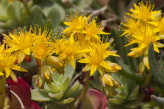 Yellow rock sedum Royalty Free Stock Photo