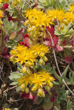 Yellow rock sedum Stock Photography