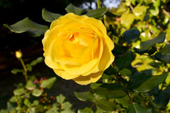_Yellow Rosa di Rosa Amarela Immagini Stock