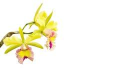 Yellow - rosa orchid, cattleya Royaltyfri Foto