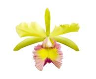 Yellow - rosa orchid, cattleya Fotografering för Bildbyråer