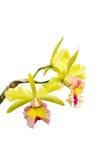 Yellow - rosa orchid, cattleya Royaltyfria Foton