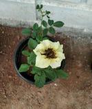 Yellow Rose στοκ εικόνα