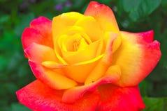 Yellow Rose με τις κόκκινες άκρες στοκ φωτογραφίες