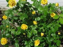 Yellow Rose Μπους Στοκ Εικόνες