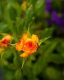 Yellow Rose Φέρτε τη φιλία που μοιράζεστε τον καθαρολόγο των χρωμάτων Στοκ Φωτογραφία