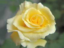 Yellow rose. On the garden royalty free stock image