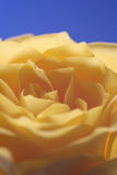 Yellow rose. A close up of a yellow rose Royalty Free Stock Photos