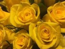 Yellow Rose στοκ εικόνες με δικαίωμα ελεύθερης χρήσης