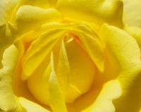 Yellow Rose. Flower - silky and smooth Royalty Free Stock Image