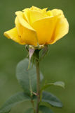 Yellow rose. A blooming yellow rose with water droplets on the petals Stock Photos