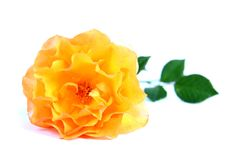 Yellow rose. Stock Images
