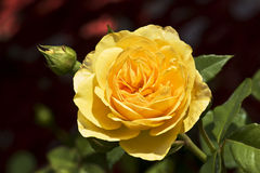 Yellow rose. Garden and park flower Stock Image
