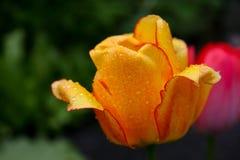 Yellow Rose. Macro image taken at dawn Royalty Free Stock Photos