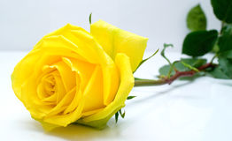 Yellow rose. With green leaves on grey background. Shallow DOF Stock Photo