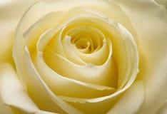 Yellow rose Royalty Free Stock Image