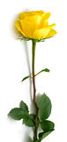 Yellow rose. With green leaves. Isolation on white background. Shallow DOF Stock Photography