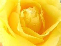 Yellow Rose. Macro shot of a yellow rose royalty free stock photo