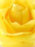 Yellow Rose. Macro shot of a yellow rose royalty free stock image