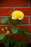 Yellow rose. Close up of a yellow rose Royalty Free Stock Photos