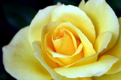 Yellow Rose. A yellow rose close up on a dark background Stock Photography