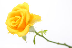 Yellow  rose Stock Image